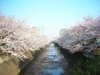Sakura2009_001