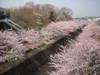 Sakura2010ondagawa_004