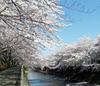 Sakura2011ondagawa