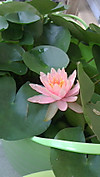 Waterlily20130803