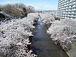 Sakura_ondagawa20170412_1